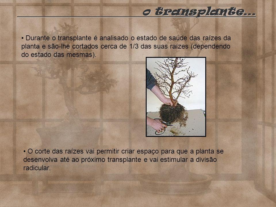 Durante o transplante é analisado o estado de saúde das raízes da planta e são-lhe cortados cerca de 1/3 das suas raízes (dependendo do estado das mes