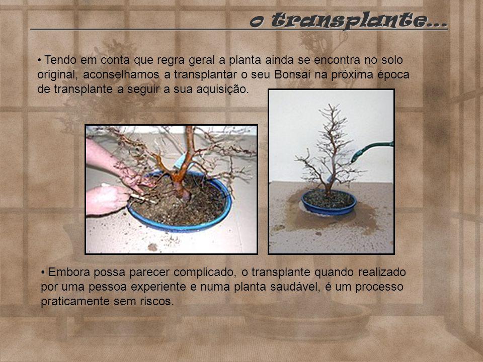 o transplante… o transplante… Tendo em conta que regra geral a planta ainda se encontra no solo original, aconselhamos a transplantar o seu Bonsai na