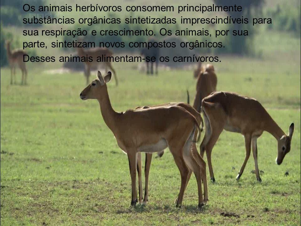 Os animais herbívoros consomem principalmente substâncias orgânicas sintetizadas imprescindíveis para sua respiração e crescimento. Os animais, por su