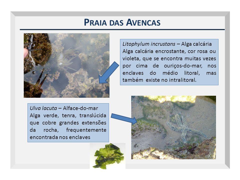 P RAIA DAS A VENCAS Litophylum incrustans – Alga calcária Alga calcária encrostante, cor rosa ou violeta, que se encontra muitas vezes por cima de our