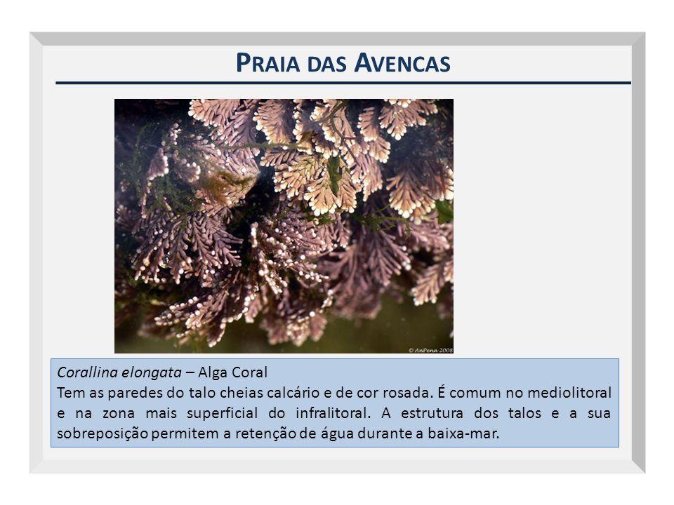P RAIA DAS A VENCAS Corallina elongata – Alga Coral Tem as paredes do talo cheias calcário e de cor rosada. É comum no mediolitoral e na zona mais sup