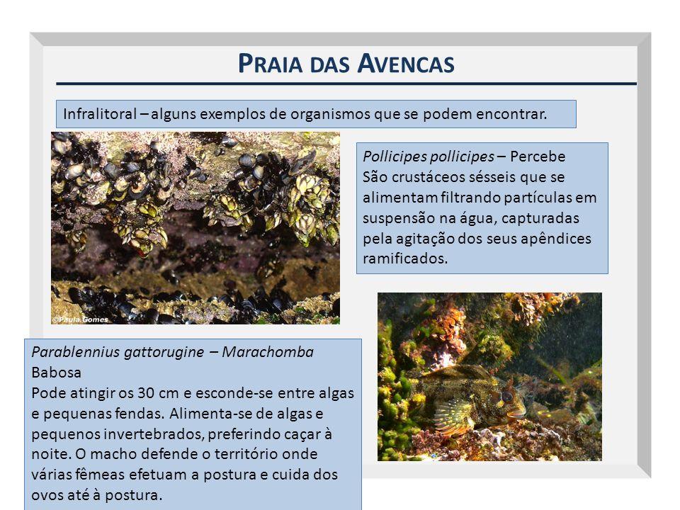 P RAIA DAS A VENCAS Infralitoral – alguns exemplos de organismos que se podem encontrar. Pollicipes pollicipes – Percebe São crustáceos sésseis que se
