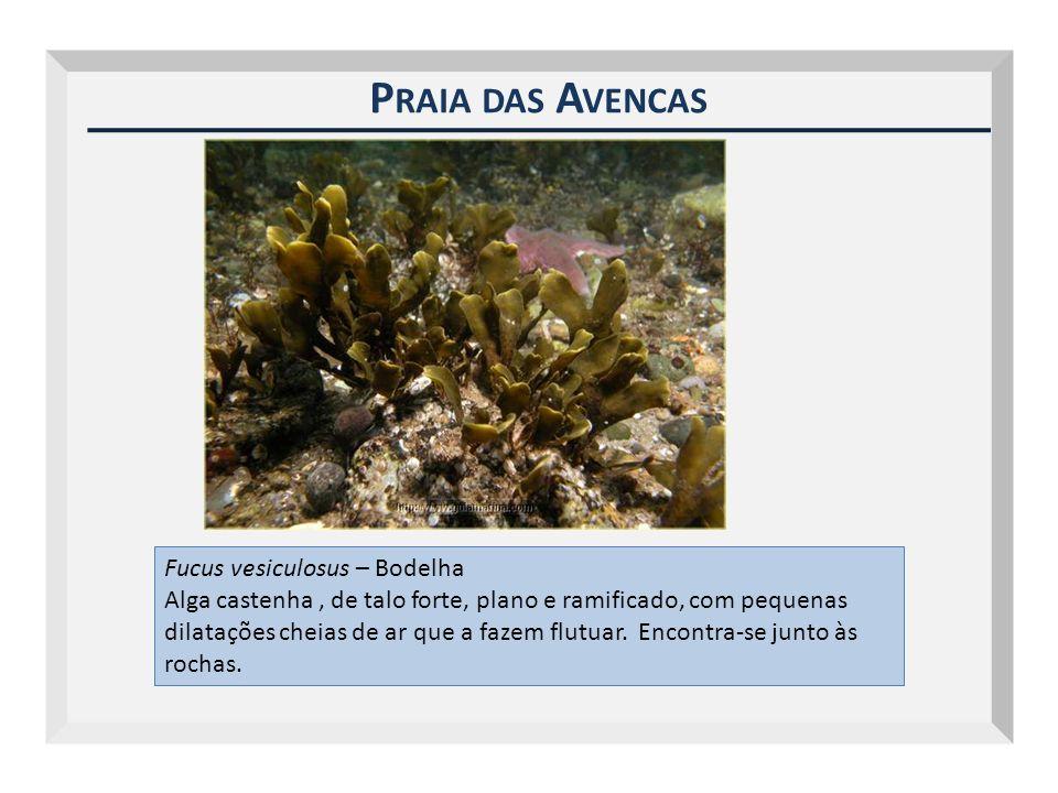 P RAIA DAS A VENCAS Fucus vesiculosus – Bodelha Alga castenha, de talo forte, plano e ramificado, com pequenas dilatações cheias de ar que a fazem flu