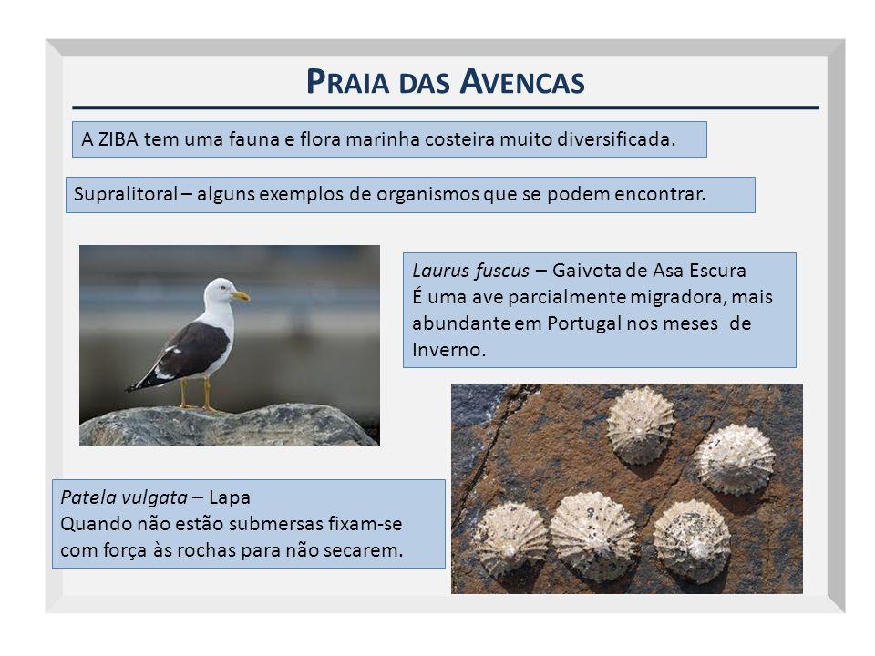 P RAIA DAS A VENCAS A ZIBA tem uma fauna e flora marinha costeira muito diversificada. Supralitoral – alguns exemplos de organismos que se podem encon