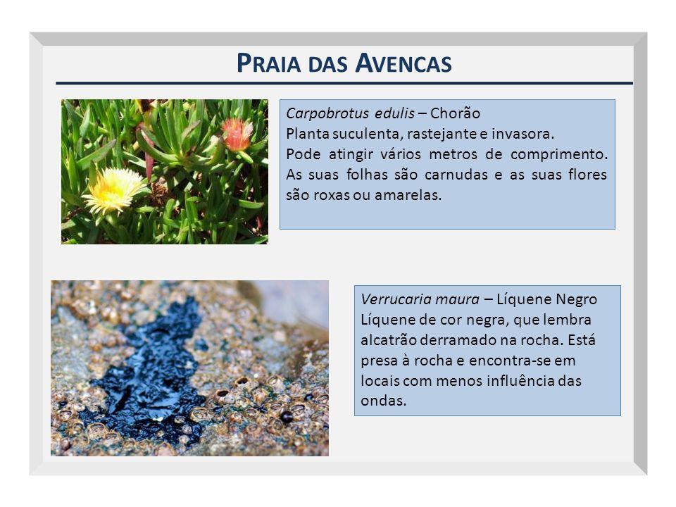 P RAIA DAS A VENCAS Carpobrotus edulis – Chorão Planta suculenta, rastejante e invasora. Pode atingir vários metros de comprimento. As suas folhas são