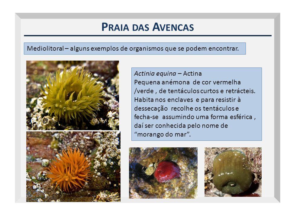 P RAIA DAS A VENCAS Mediolitoral – alguns exemplos de organismos que se podem encontrar. Actinia equina – Actina Pequena anémona de cor vermelha /verd