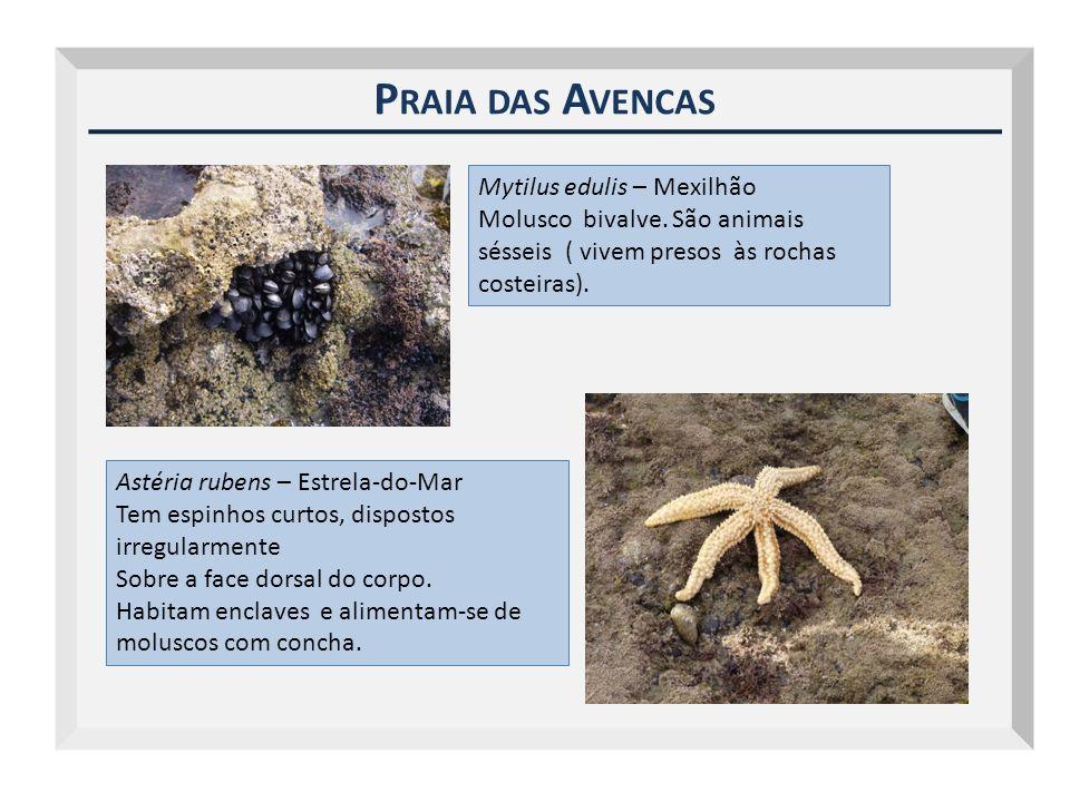 P RAIA DAS A VENCAS Mytilus edulis – Mexilhão Molusco bivalve. São animais sésseis ( vivem presos às rochas costeiras). Astéria rubens – Estrela-do-Ma
