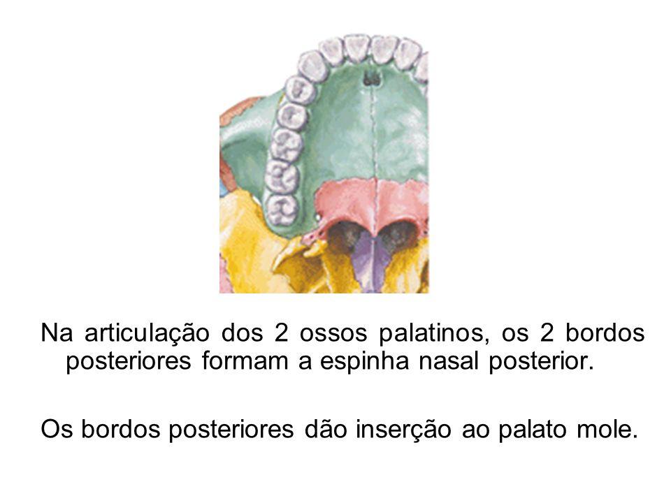 Na articulação dos 2 ossos palatinos, os 2 bordos posteriores formam a espinha nasal posterior. Os bordos posteriores dão inserção ao palato mole.