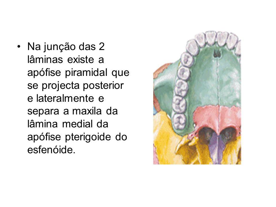 Na junção das 2 lâminas existe a apófise piramidal que se projecta posterior e lateralmente e separa a maxila da lâmina medial da apófise pterigoide d