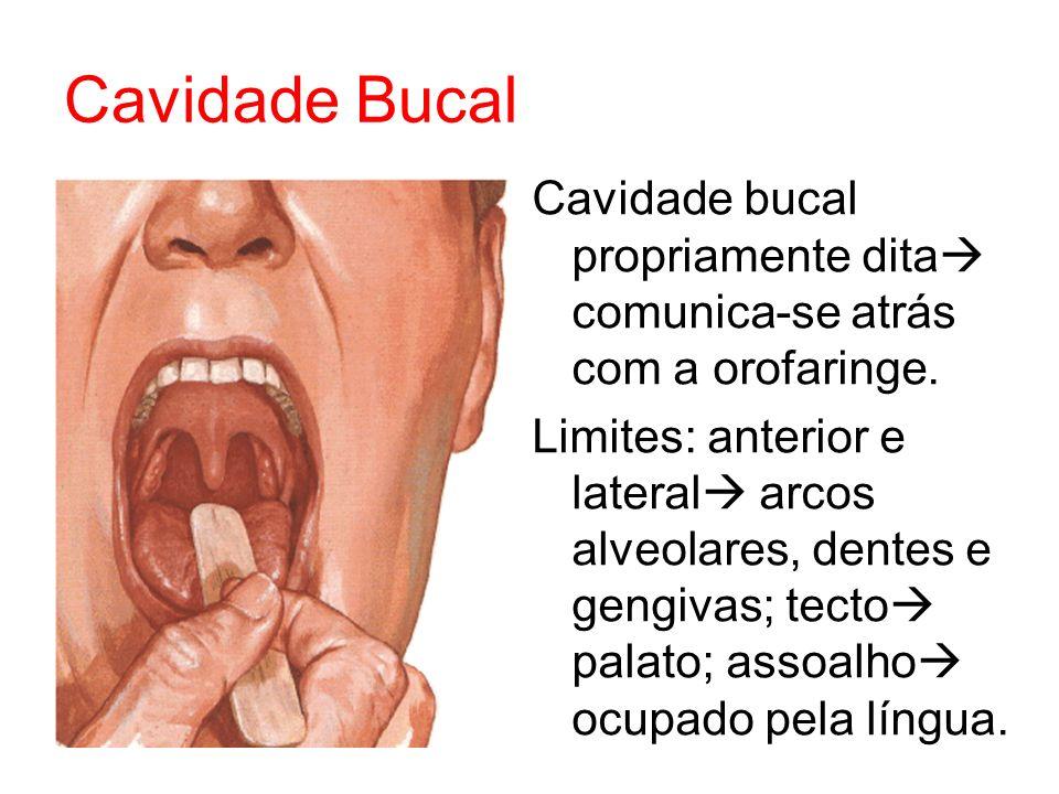 Cavidade Bucal Cavidade bucal propriamente dita comunica-se atrás com a orofaringe. Limites: anterior e lateral arcos alveolares, dentes e gengivas; t