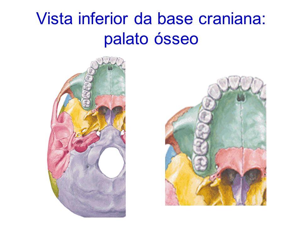 Palato Ósseo Constituição: lâmina horizontal do osso palatino apófises palatinas da maxila Orifícios: palatinos maiores palatinos menores fossa incisiva