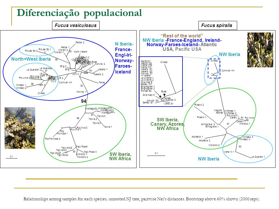 Diversidade genética intra-populacional Mean over populations within each group ± standard deviation Fucus spiralisFucus vesiculosus S: SympatryA: Allopatry ˆH e N Atl/France N/NW Iberia S Iberia/AfricaPacific/N Atl/France N/NW Iber S Iber/Africa/Az/Can