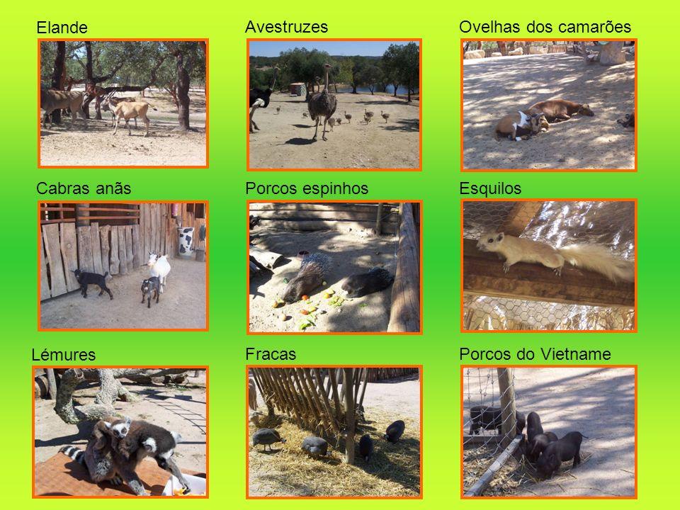 Elande AvestruzesOvelhas dos camarões Cabras anãsPorcos espinhosEsquilos Lémures FracasPorcos do Vietname