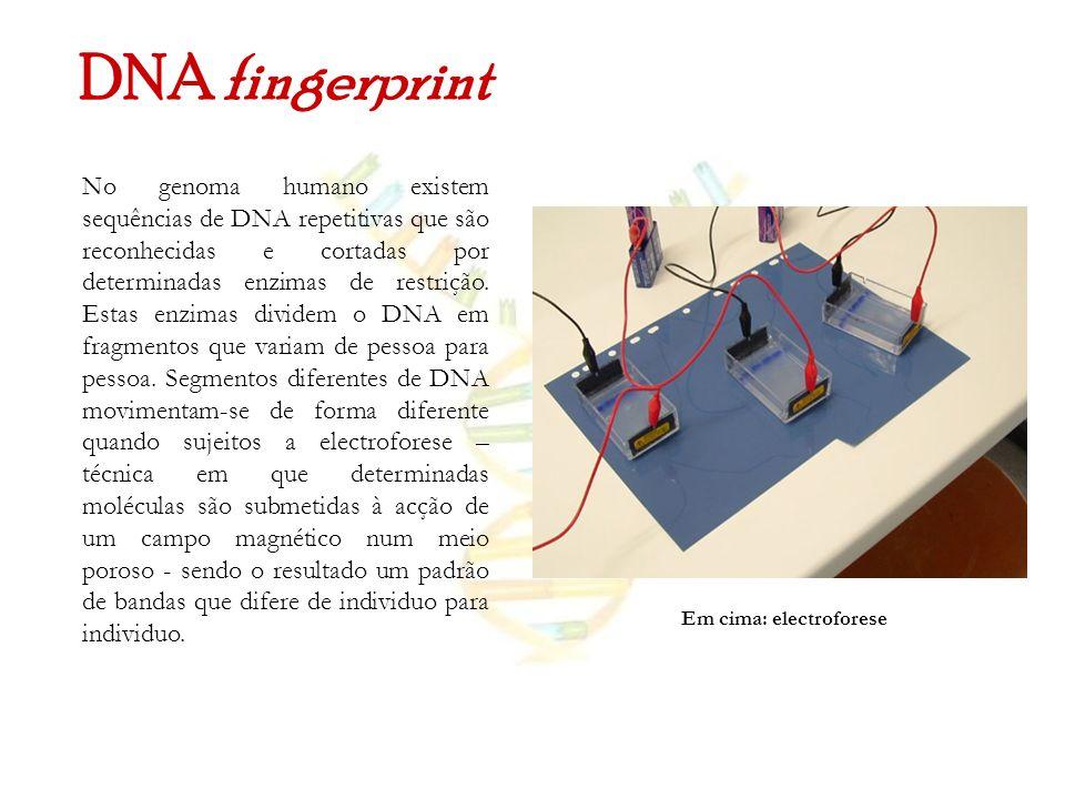 DNA fingerprint No genoma humano existem sequências de DNA repetitivas que são reconhecidas e cortadas por determinadas enzimas de restrição. Estas en