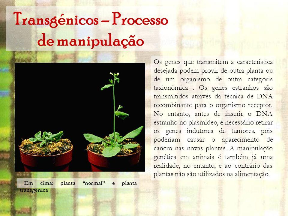 Transgénicos – Processo de manipulação Os genes que transmitem a característica desejada podem provir de outra planta ou de um organismo de outra cate