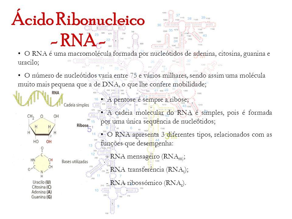 Ácido Ribonucleico - RNA - O RNA é uma macromolécula formada por nucleótidos de adenina, citosina, guanina e uracilo; O número de nucleótidos varia en
