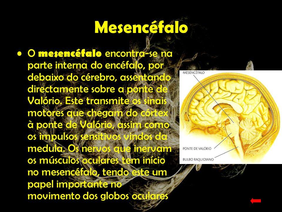 Bolbo Raquidiano O bolbo raquidiano é o prolongamento ascendente da espinal-medula.
