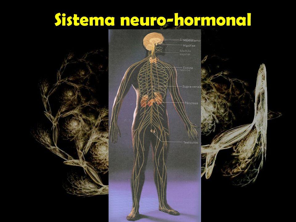 O sistema nervoso trabalha em estreita cooperação com o sistema hormonal, coordenando a actividade do organismo.