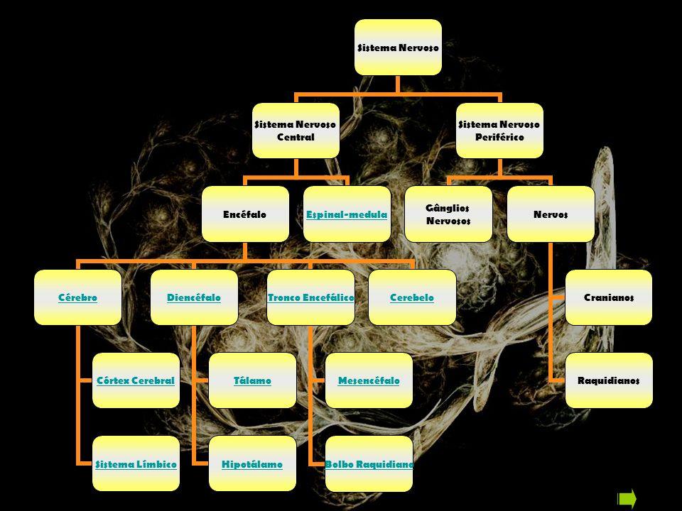 O Cérebro A maior parte do encéfalo é o cérebro, formado por dois hemisférios.