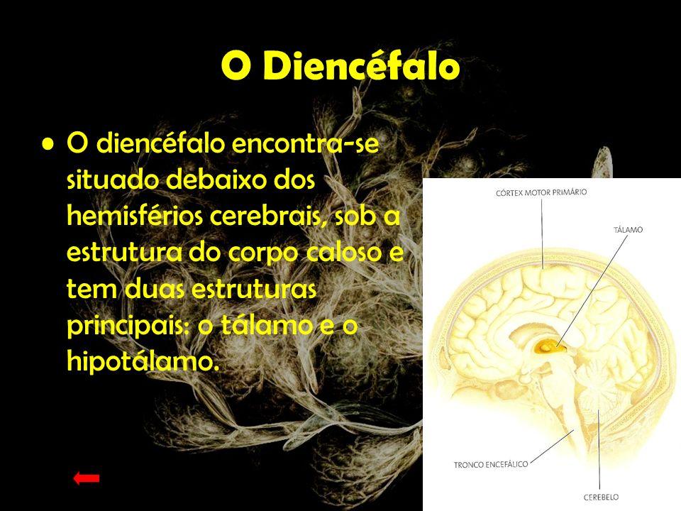 Tálamo O tálamo actua como estação retransmissora de impulsos nervosos para o córtex cerebral.