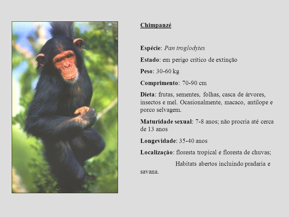 Chimpanzé Espécie: Pan troglodytes Estado: em perigo crítico de extinção Peso: 30-60 kg Comprimento: 70-90 cm Dieta: frutas, sementes, folhas, casca d