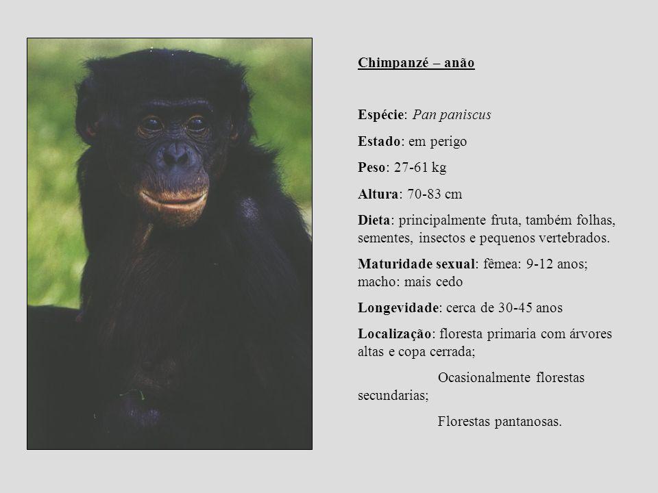 Chimpanzé – anão Espécie: Pan paniscus Estado: em perigo Peso: 27-61 kg Altura: 70-83 cm Dieta: principalmente fruta, também folhas, sementes, insecto