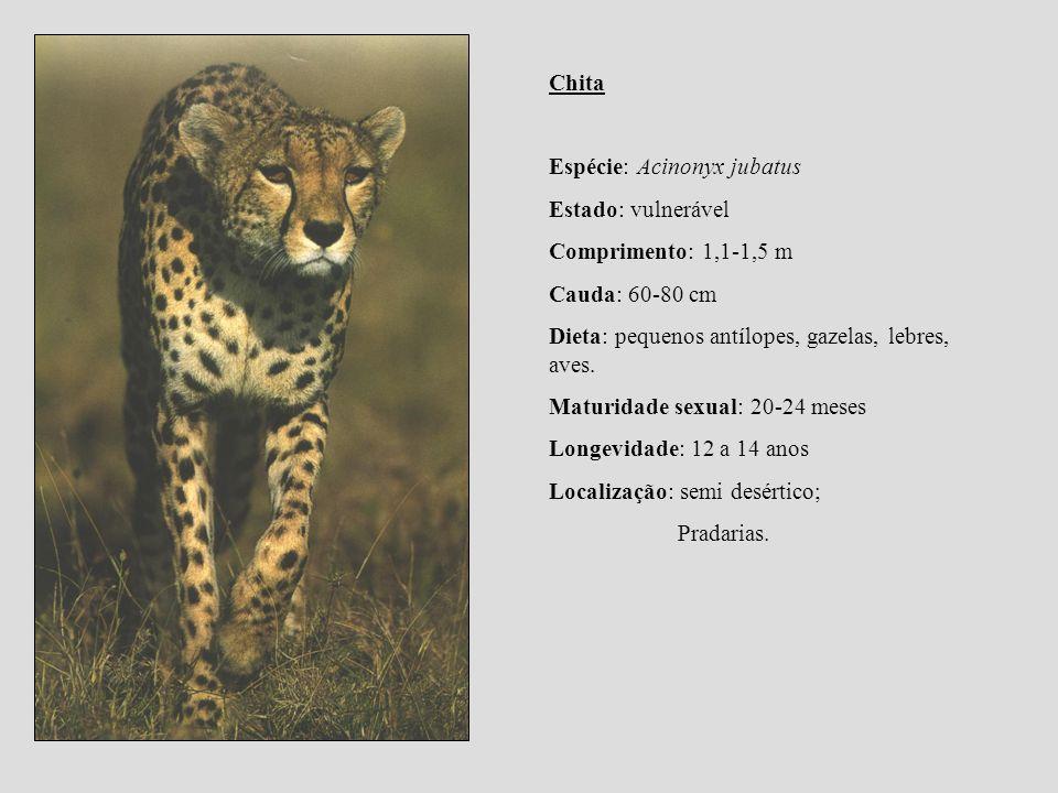 Chita Espécie: Acinonyx jubatus Estado: vulnerável Comprimento: 1,1-1,5 m Cauda: 60-80 cm Dieta: pequenos antílopes, gazelas, lebres, aves. Maturidade