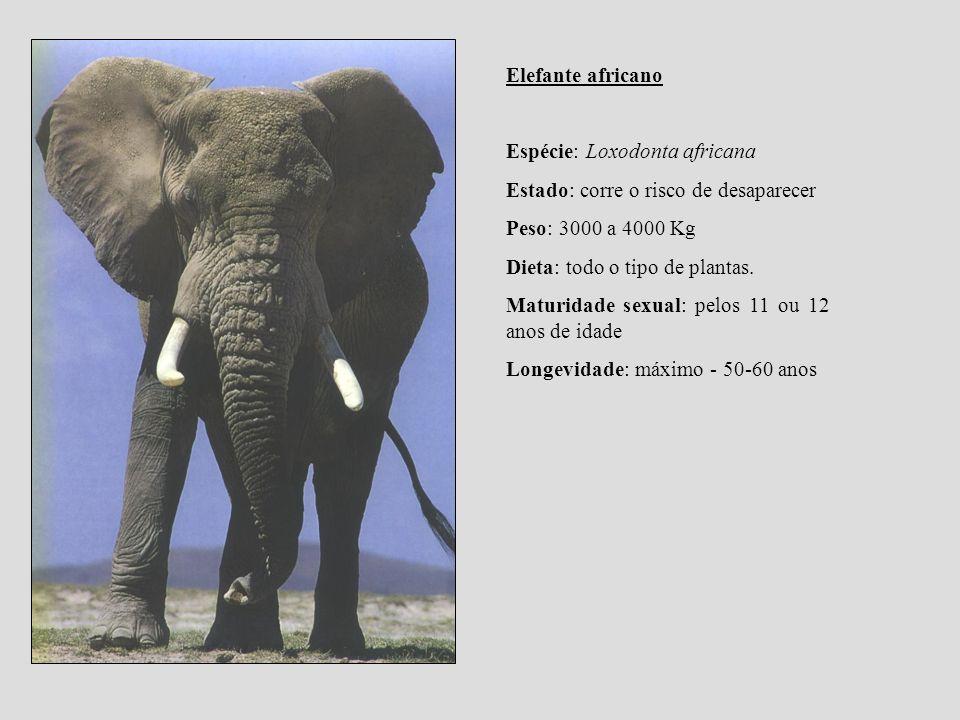 Elefante africano Espécie: Loxodonta africana Estado: corre o risco de desaparecer Peso: 3000 a 4000 Kg Dieta: todo o tipo de plantas. Maturidade sexu