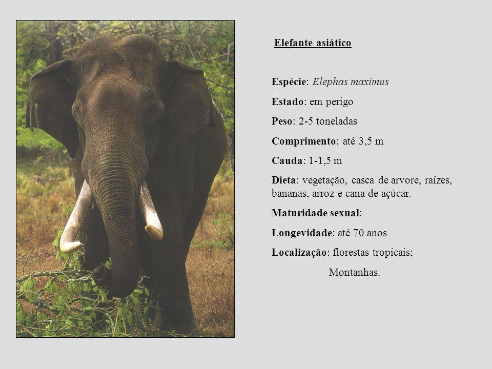 Elefante asiático Espécie: Elephas maximus Estado: em perigo Peso: 2-5 toneladas Comprimento: até 3,5 m Cauda: 1-1,5 m Dieta: vegetação, casca de arvo