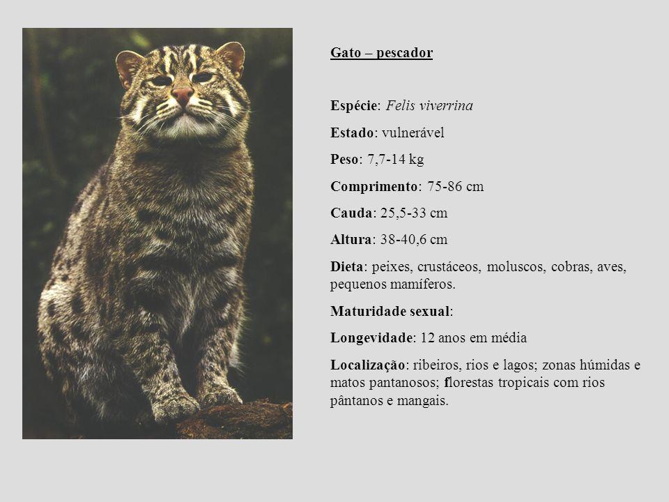 Gato – pescador Espécie: Felis viverrina Estado: vulnerável Peso: 7,7-14 kg Comprimento: 75-86 cm Cauda: 25,5-33 cm Altura: 38-40,6 cm Dieta: peixes,