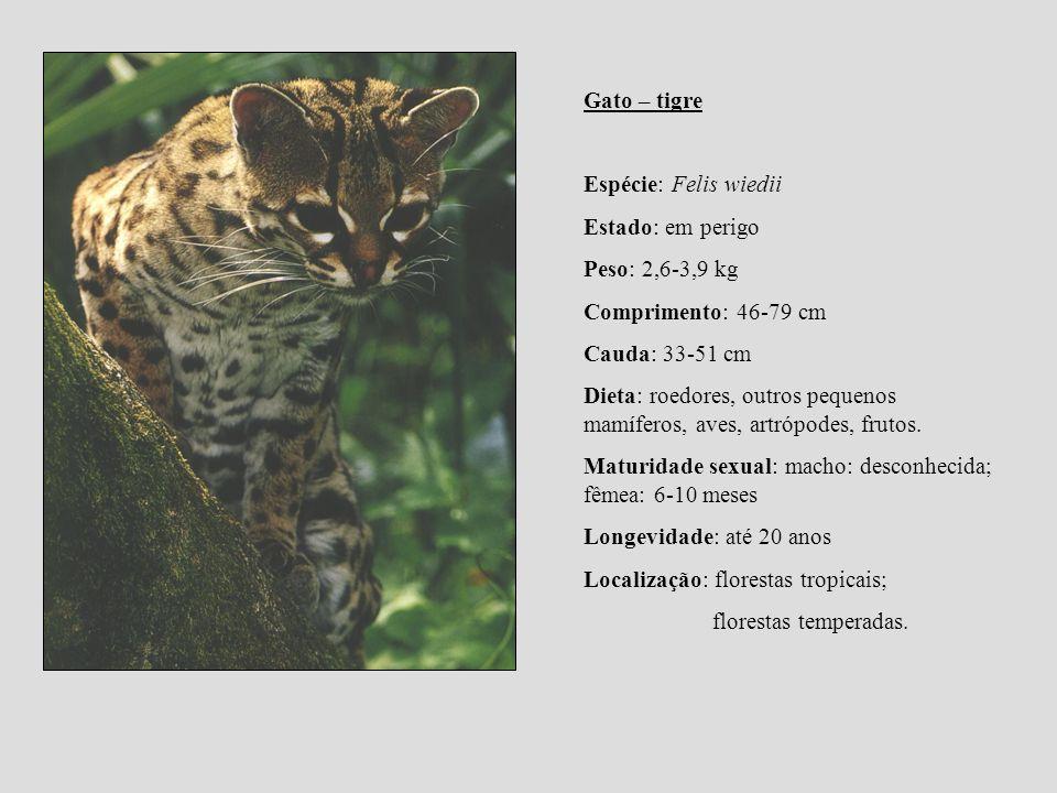Gato – tigre Espécie: Felis wiedii Estado: em perigo Peso: 2,6-3,9 kg Comprimento: 46-79 cm Cauda: 33-51 cm Dieta: roedores, outros pequenos mamíferos