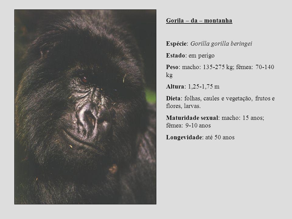 Gorila – da – montanha Espécie: Gorilla gorilla beringei Estado: em perigo Peso: macho: 135-275 kg; fêmea: 70-140 kg Altura: 1,25-1,75 m Dieta: folhas