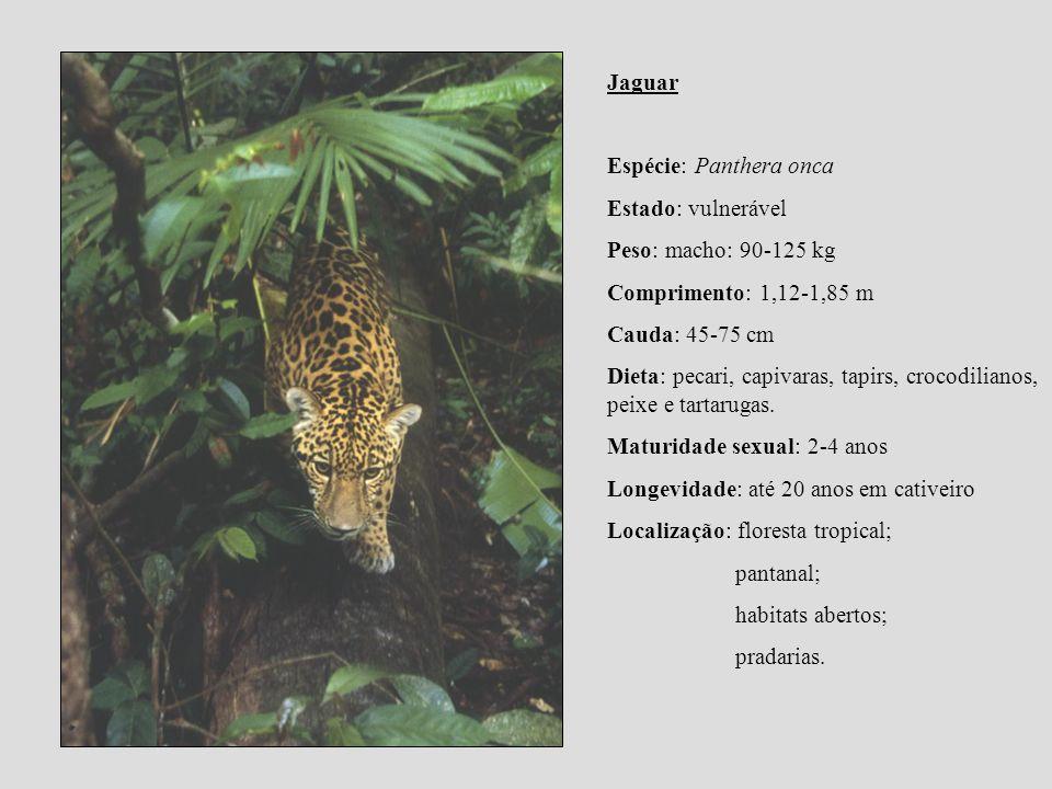 Jaguar Espécie: Panthera onca Estado: vulnerável Peso: macho: 90-125 kg Comprimento: 1,12-1,85 m Cauda: 45-75 cm Dieta: pecari, capivaras, tapirs, cro