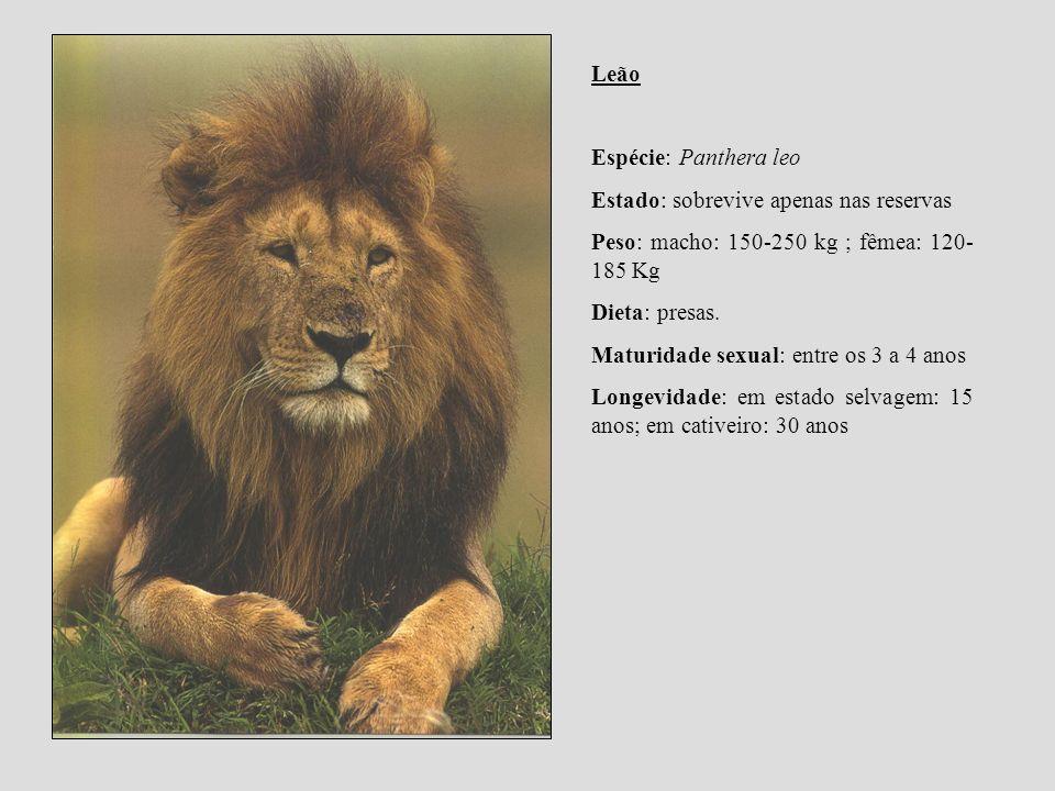 Leão Espécie: Panthera leo Estado: sobrevive apenas nas reservas Peso: macho: 150-250 kg ; fêmea: 120- 185 Kg Dieta: presas. Maturidade sexual: entre