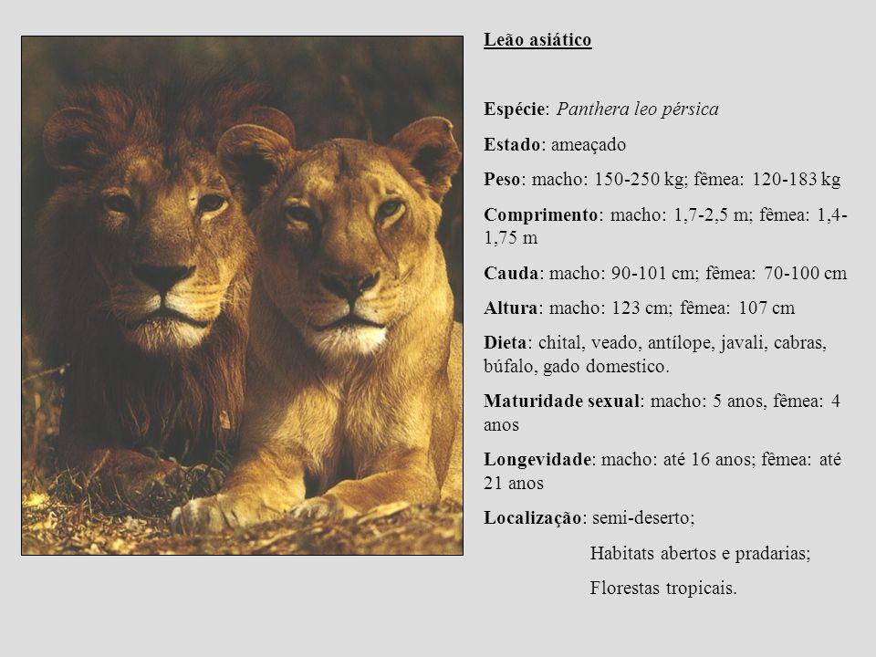 Leão asiático Espécie: Panthera leo pérsica Estado: ameaçado Peso: macho: 150-250 kg; fêmea: 120-183 kg Comprimento: macho: 1,7-2,5 m; fêmea: 1,4- 1,7
