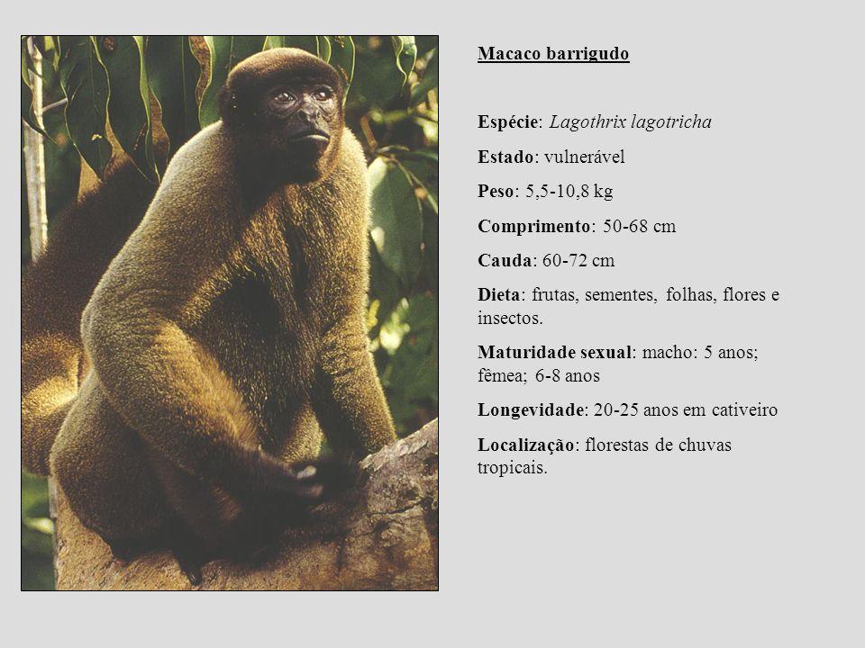 Macaco barrigudo Espécie: Lagothrix lagotricha Estado: vulnerável Peso: 5,5-10,8 kg Comprimento: 50-68 cm Cauda: 60-72 cm Dieta: frutas, sementes, fol