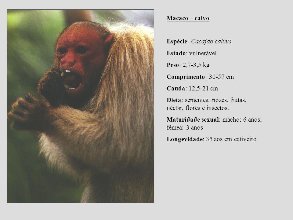 Macaco – calvo Espécie: Cacajao calvus Estado: vulnerável Peso: 2,7-3,5 kg Comprimento: 30-57 cm Cauda: 12,5-21 cm Dieta: sementes, nozes, frutas, néc