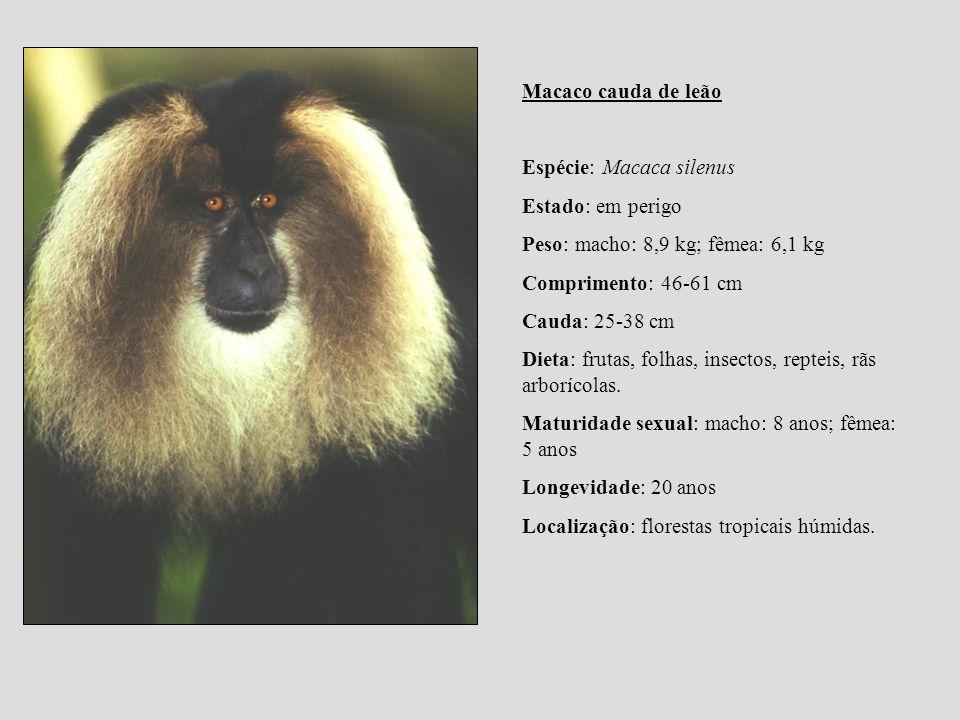 Macaco cauda de leão Espécie: Macaca silenus Estado: em perigo Peso: macho: 8,9 kg; fêmea: 6,1 kg Comprimento: 46-61 cm Cauda: 25-38 cm Dieta: frutas,