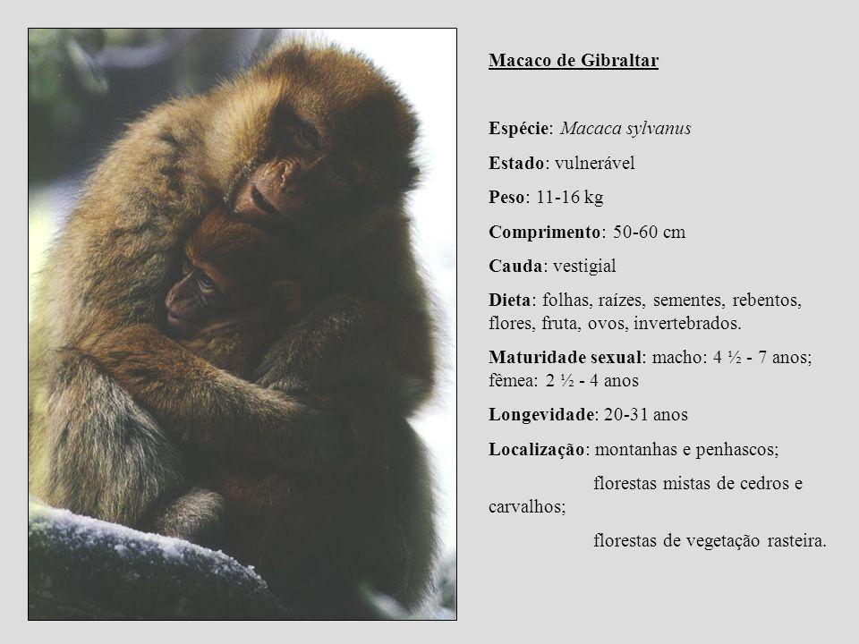 Macaco de Gibraltar Espécie: Macaca sylvanus Estado: vulnerável Peso: 11-16 kg Comprimento: 50-60 cm Cauda: vestigial Dieta: folhas, raízes, sementes,