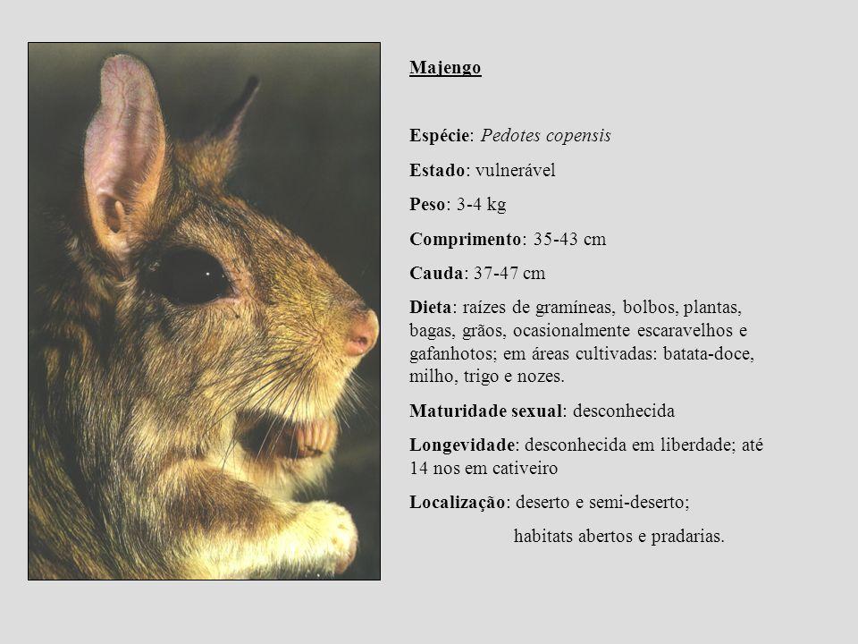 Majengo Espécie: Pedotes copensis Estado: vulnerável Peso: 3-4 kg Comprimento: 35-43 cm Cauda: 37-47 cm Dieta: raízes de gramíneas, bolbos, plantas, b