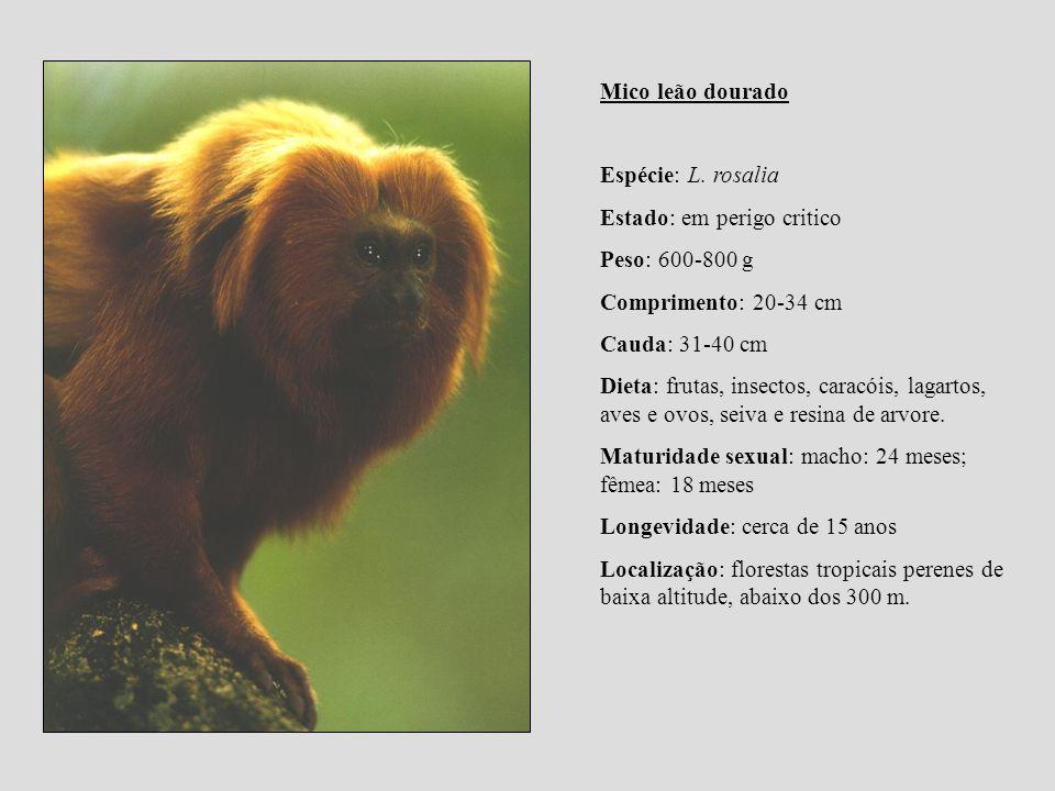 Mico leão dourado Espécie: L. rosalia Estado: em perigo critico Peso: 600-800 g Comprimento: 20-34 cm Cauda: 31-40 cm Dieta: frutas, insectos, caracói