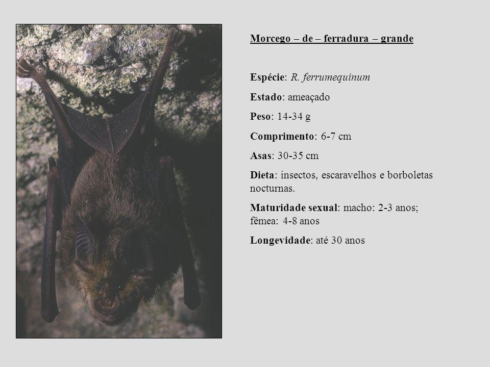Morcego – de – ferradura – grande Espécie: R. ferrumequinum Estado: ameaçado Peso: 14-34 g Comprimento: 6-7 cm Asas: 30-35 cm Dieta: insectos, escarav