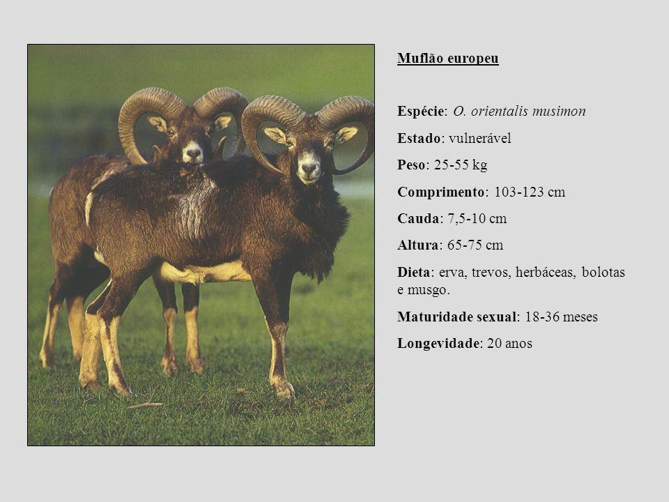 Muflão europeu Espécie: O. orientalis musimon Estado: vulnerável Peso: 25-55 kg Comprimento: 103-123 cm Cauda: 7,5-10 cm Altura: 65-75 cm Dieta: erva,