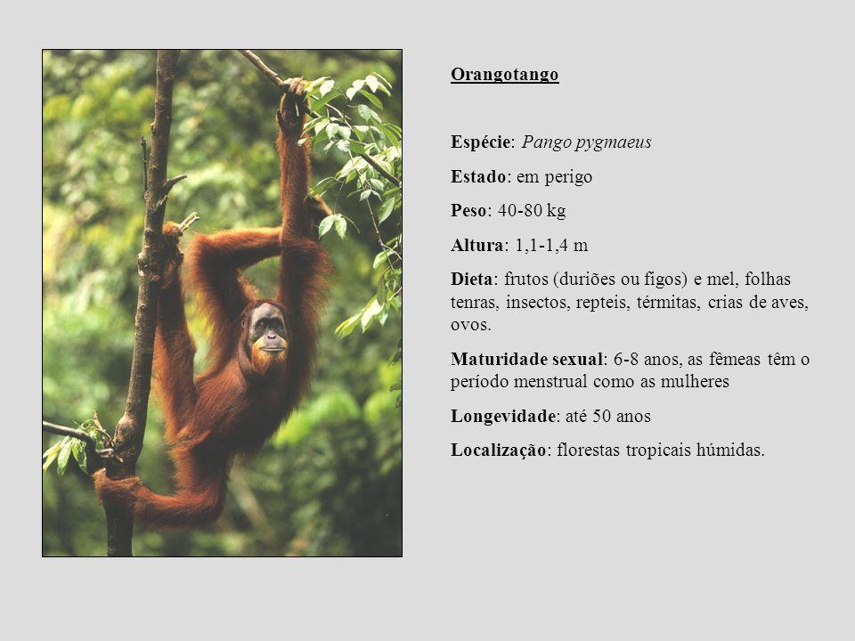 Orangotango Espécie: Pango pygmaeus Estado: em perigo Peso: 40-80 kg Altura: 1,1-1,4 m Dieta: frutos (duriões ou figos) e mel, folhas tenras, insectos