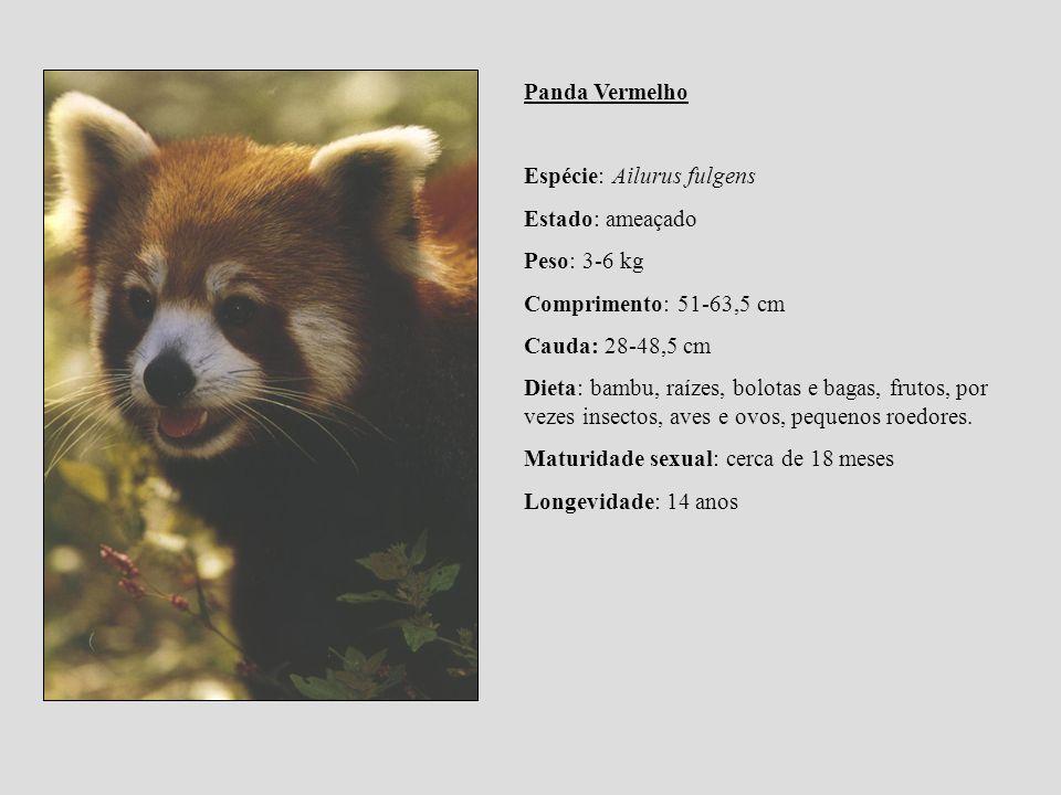Panda Vermelho Espécie: Ailurus fulgens Estado: ameaçado Peso: 3-6 kg Comprimento: 51-63,5 cm Cauda: 28-48,5 cm Dieta: bambu, raízes, bolotas e bagas,