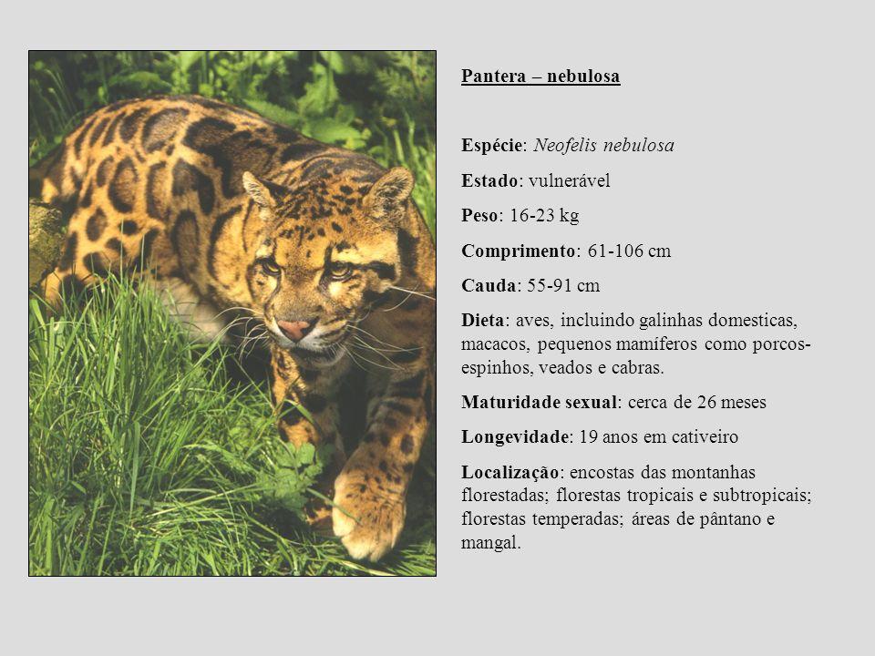 Pantera – nebulosa Espécie: Neofelis nebulosa Estado: vulnerável Peso: 16-23 kg Comprimento: 61-106 cm Cauda: 55-91 cm Dieta: aves, incluindo galinhas