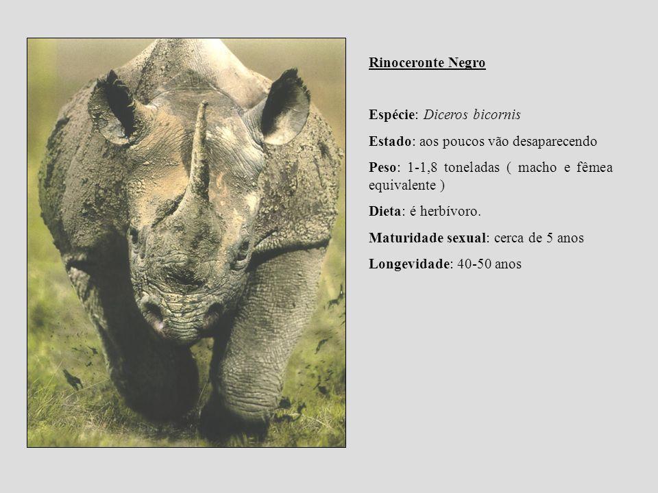 Rinoceronte Negro Espécie: Diceros bicornis Estado: aos poucos vão desaparecendo Peso: 1-1,8 toneladas ( macho e fêmea equivalente ) Dieta: é herbívor