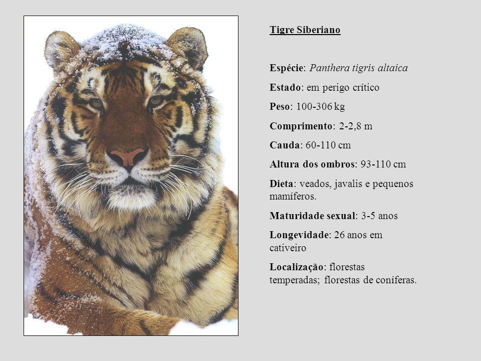 Tigre Siberiano Espécie: Panthera tigris altaica Estado: em perigo crítico Peso: 100-306 kg Comprimento: 2-2,8 m Cauda: 60-110 cm Altura dos ombros: 9