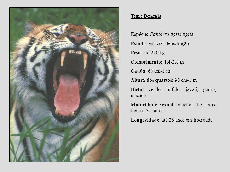 Tigre Bengala Espécie: Panthera tigris tigris Estado: em vias de extinção Peso: até 220 kg Comprimento: 1,4-2,8 m Cauda: 60 cm-1 m Altura dos quartos: