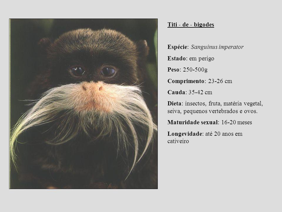 Titi - de - bigodes Espécie: Sanguinus imperator Estado: em perigo Peso: 250-500g Comprimento: 23-26 cm Cauda: 35-42 cm Dieta: insectos, fruta, matéri